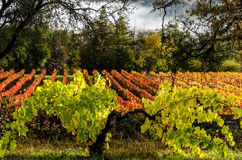 Nichole Ryan - vineyards