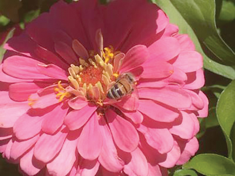 Zinnia with Bee submitted by Joyce Power